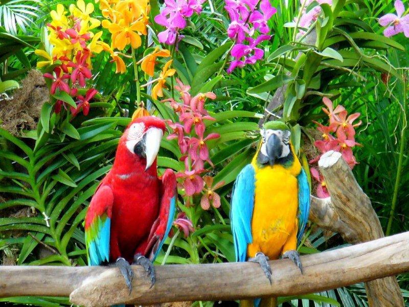 perroquet_de_guyane